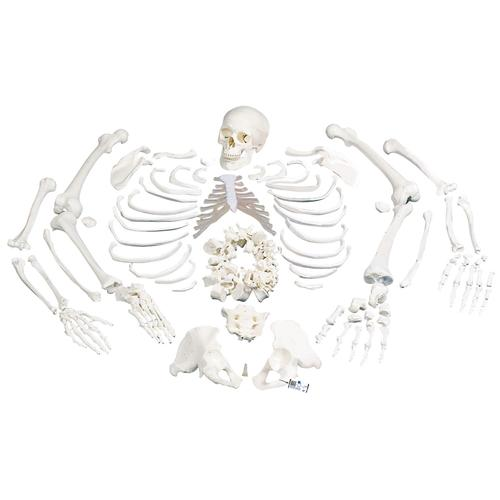 A05/1: Disarticulated Full Human Skeleton with 3 part skull