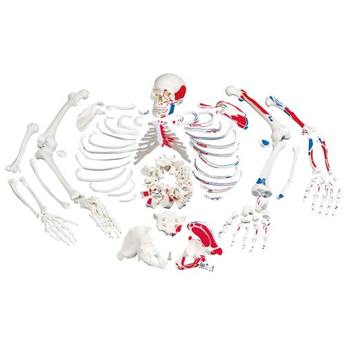 A05/2: Disarticulated Full Human Skeleton, painted muscles, with 3 part skull