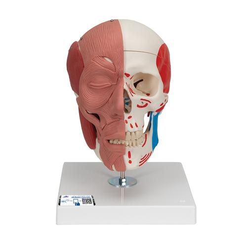 A300: Skull with Facial Muscles