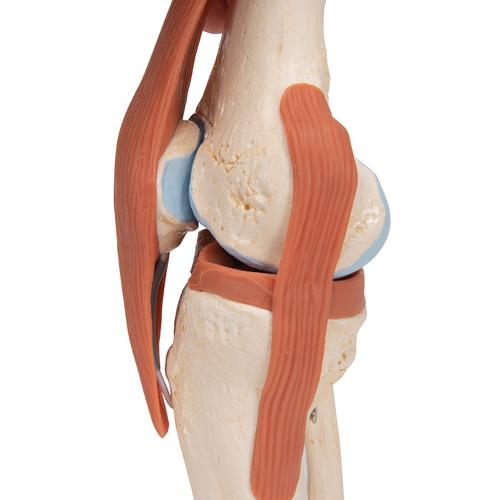 Functional Human Knee Joint Model with Ligaments & Marked Cartilage - 3B Smart Anatomy, 1000164 [A82/1], Joint Models