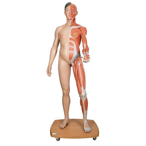 Life-Size Dual Sex Asian Human Figure, Half Side with Muscles, 39 part - 3B Smart Anatomy, 1000208 [B52], Muscle Models