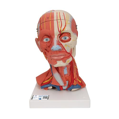 C05: Head and Neck Musculature, 5 part