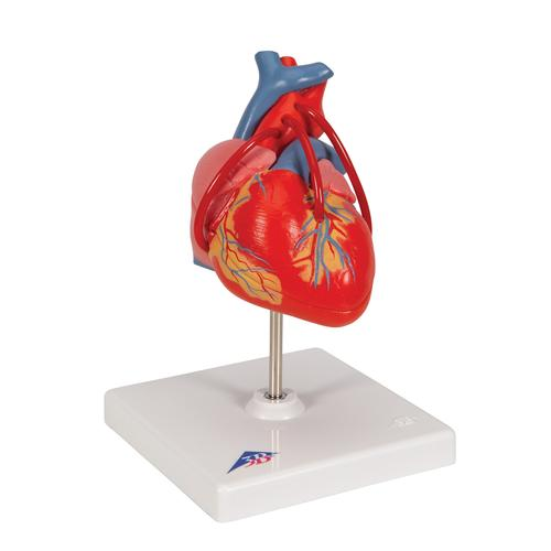Classic Human Heart Model with Bypass, 2 part - 3B Smart Anatomy, 1017837 [G05], Human Heart Models