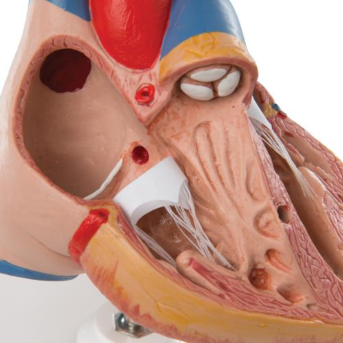 Classic Human Heart Model with Thymus, 3 part - 3B Smart Anatomy