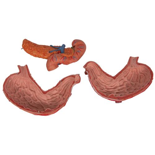 Human Stomach Model, 3 part - 3B Smart Anatomy, 1000303 [K16], Digestive System Models