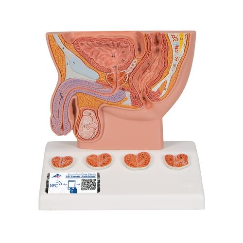 Prostate Model, 1/2 natural size, 1000319 [K41], Urology Models