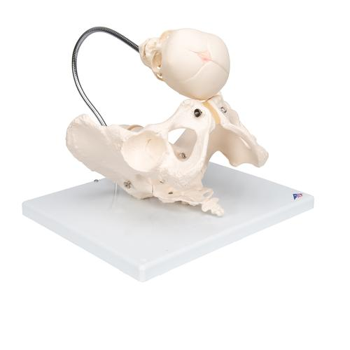 Childbirth Demonstration Pelvis Skeleton Model with Fetal Skull - 3B Smart Anatomy, 1000334 [L30], Pregnancy Models