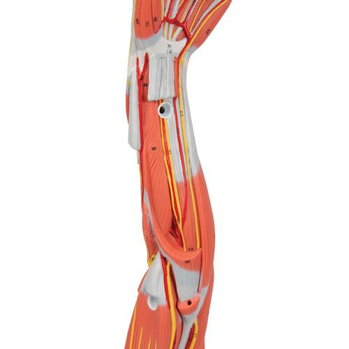 Muscle Arm Model, 3/4 Life-Size, 6 part - 3B Smart Anatomy, 1000015 [M10], Muscle Models