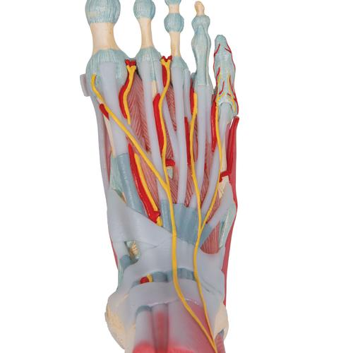 Foot Skeleton Model with Ligaments & Muscles - 3B Smart Anatomy, 1019421 [M34/1], Joint Models