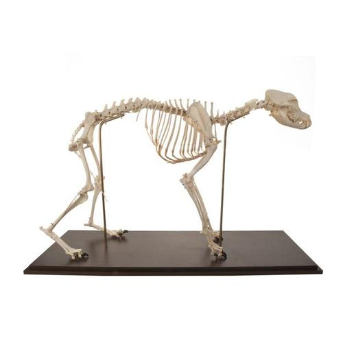 T30040: Dog Skeleton (Canis domesticus), Flexibly Mounted