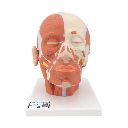 VB127: Head Musculature