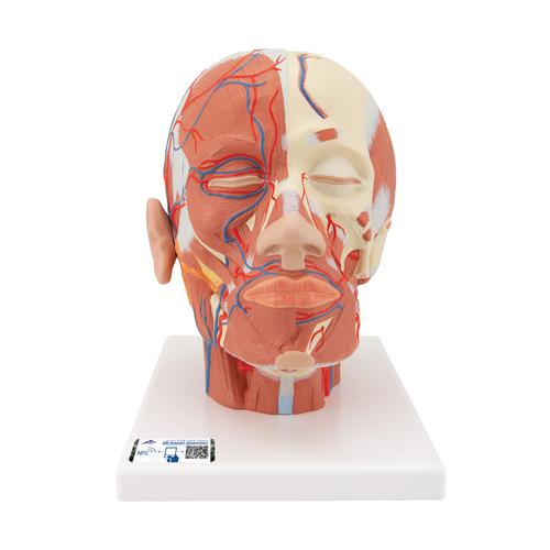 VB128: Head Musculature additionally with Blood Vessels