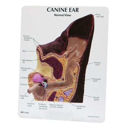 W47850: Canine Ear Model - Normal / Infected