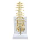 Sacrum -T8 Spine Model, 1019508, Vertebra Models
