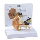 Ear Model,1019526