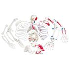 Disarticulated Full Human Skeleton, painted muscles, with 3 part skull,A05/2