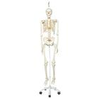 Skeleton Model- Stan - Hanging Stand,A10/1