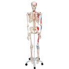 Muscle Skeleton Model - Max, 1020173 [A11], Skeleton Models - Life size
