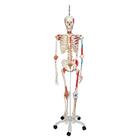 Skeleton Model with Muscle and Ligaments - Sam - Hanging Stand,A13/1