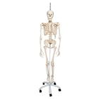 Physiological Skeleton Model - Phil - Hanging Stand,A15/3