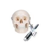 Mini Human Skull Model, 3 part - skullcap, base of skull, mandible, 1000041 [A18/15], Human Skull Models