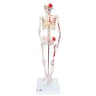 Mini Human Skeleton - Shorty - with painted muscles, pelvic mounted,A18/5