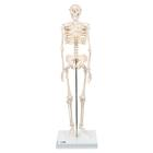 Mini Human Skeleton Model Shorty, Half Natural Size - 3B Smart Anatomy, 1000039 [A18], Mini Skeleton Models