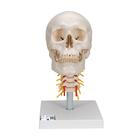 A20/1: Human Skull Model on Cervical Spine, 4 part
