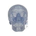 A20/T: Transparent Classic Human Skull Model, 3 part