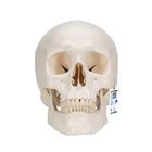 Classic Human Skull Model, 3 part, 1020159 [A20], Human Skull Models