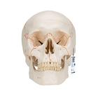 A21: Numbered Human Classic Skull Model, 3 part
