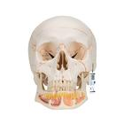 A22: Classic Human Skull Model, with Opened Lower Jaw, 3 part