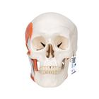 TMJ Human Skull Model, demonstrates functions of masticator muscles, 2 part,A24
