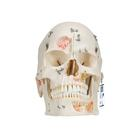 Deluxe Human Demonstration Dental Skull Model, 10 part, 1000059 [A27], Human Skull Models