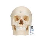 BONElike™ Human Bony Skull Model, 6 part,A281