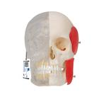 BONElike™ Human Skull Model, Half transparent and Half Bony, 8 part, 1000063 [A282], Human Skull Models