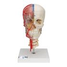 BONElike™ Human Skull Model, Half Transparent & Half Bony, Complete with Brain & Vertebrae - 3B Smart Anatomy, 1000064 [A283], Vertebra Models