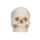 Microcephalic Human Skull Model,A29/1