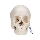 Beauchene Adult Human Skull Model - Bone Colored Version, 22 part,A290