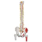 Deluxe Flexible Spine Model with Femur Heads and Painted Muscles,A58/7