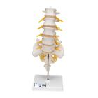 A74: Lumbar Spinal Column
