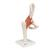 Functional Human Hip Joint Model - 3B Smart Anatomy, 1000161 [A81], Joint Models (Small)