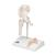 Mini Human Hip Joint Model with Cross Section - 3B Smart Anatomy, 1000168 [A84/1], Joint Models (Small)