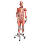 3/4 Life-Size Female Muscle Model on a metal stand without internal organs, 23-part,B51