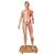 Life-Size Dual Sex Asian Human Figure, Half Side with Muscles, 39 part - 3B Smart Anatomy, 1000208 [B52], Muscle Models (Small)