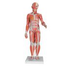 1/2 Life-Size Complete Dual Sex Muscle Model, 33-part, 1000210 [B55], Muscle Models