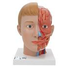 Human Head Model with Neck, 4 part - 3B Smart Anatomy, 1000216 [C07], Head Models