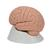 Introductory Brain Model, 2 part, 1000223 [C15/1], Brain Models (Small)