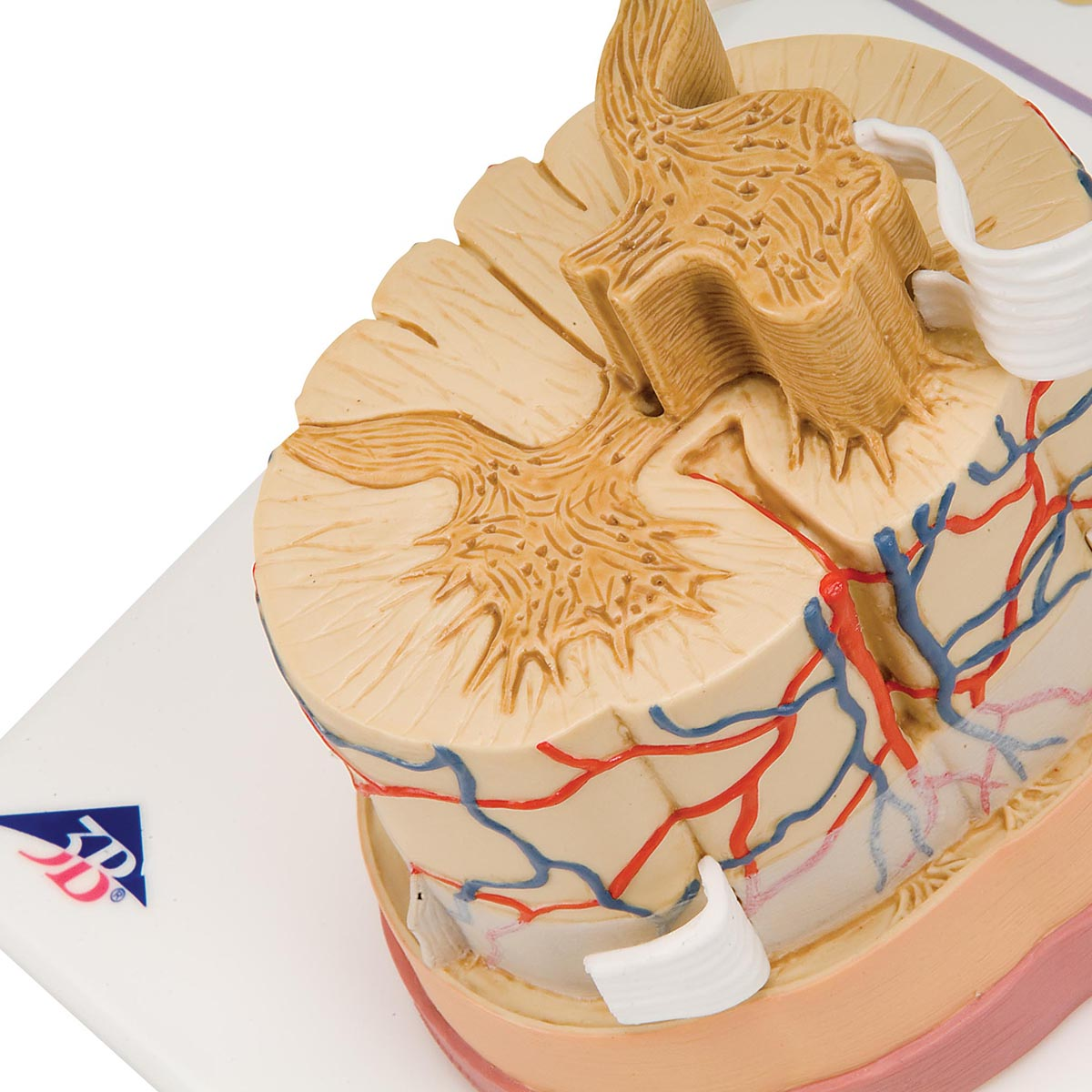 Spinal Cord Anatomical Model Spinal Cord Model 5 Times Life