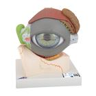 Human Eye Model, 5 times full-size, 8 part - 3B Smart Anatomy, 1000257 [F12], Eye Models